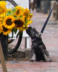 Dog-smelling-sun-flowers_Dylan_on-Dog-Spies