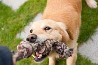 dog_tug_of_war
