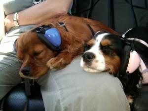 Two little dogs wearng ear-muffs, courtesy of hoppiesdoggies.co.uk
