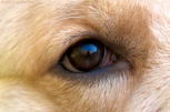 Domestic dog's eye