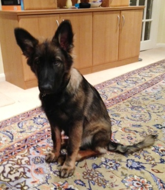 Dogs With Curled Tails And Erect Ears